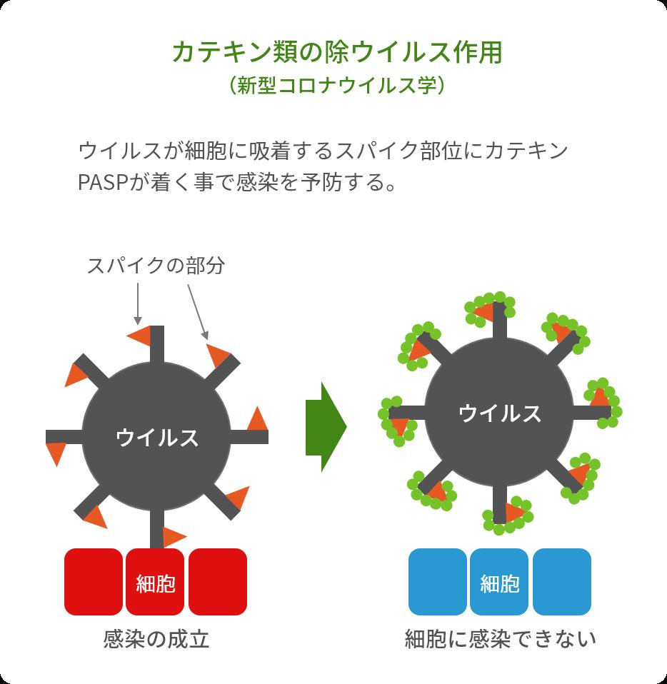 カテキン類の除ウイルス作用